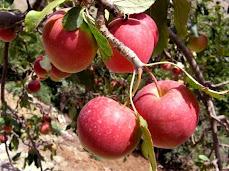 köy Elması