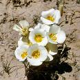 Utah State Flower....Sego Lily