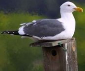 Utah state bird, California seagull
