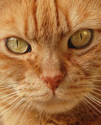 orange tabby cat toy