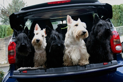 wheaten and black scottish terriers