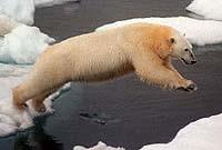 Activists want polar bear on endangered list before Alaska oil sale