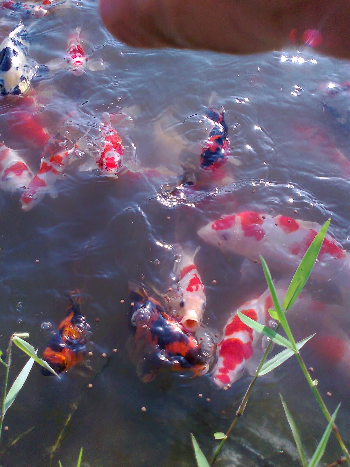 Seleksi ikan koi kolam alami for Koi 1 utama