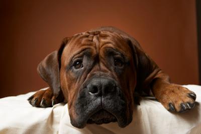 Piez gryzie właściciela, meble, wszystko?