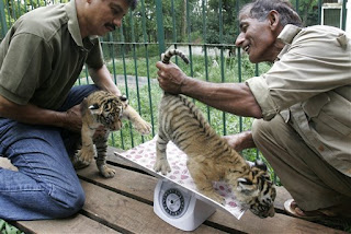 Zookeepers check out a tiger's hemmrhoids