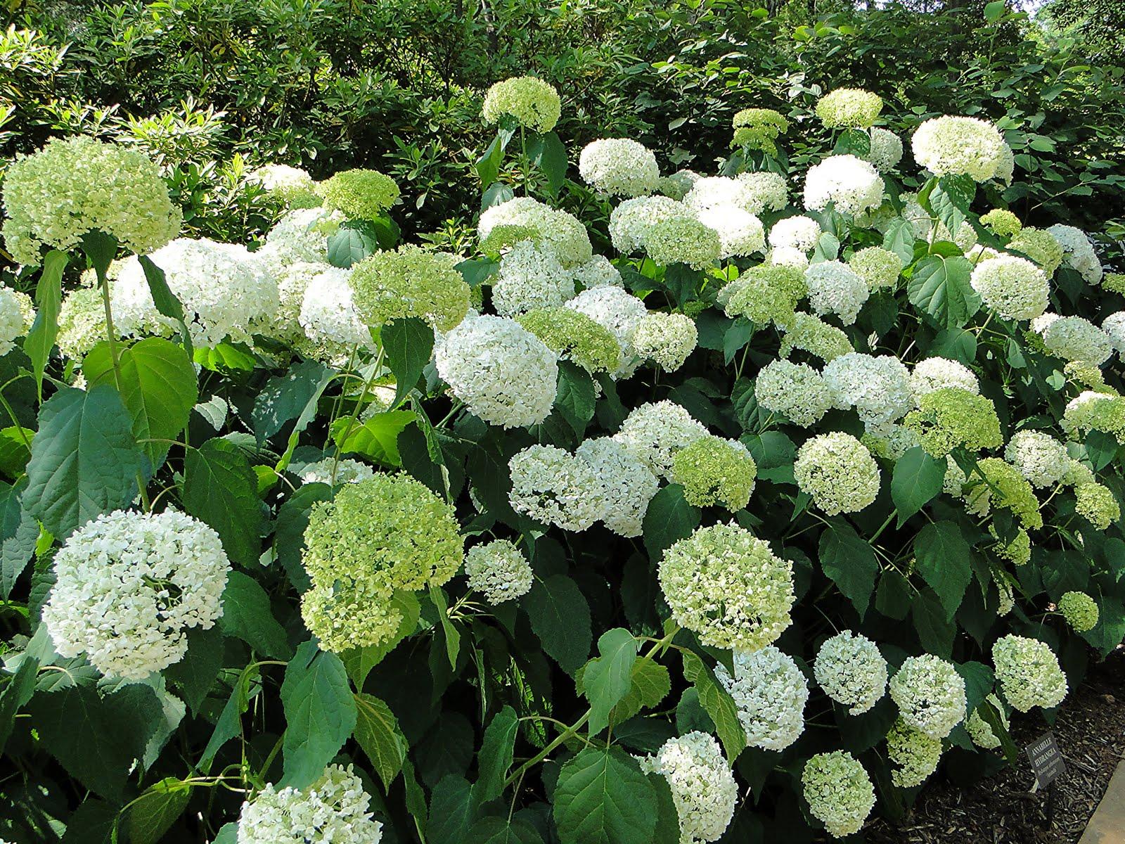 Гортензия садовая фото цветов приметы