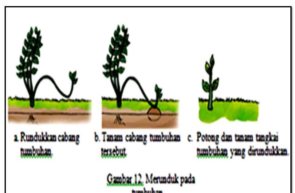 Shinigami Cara Melakukan Vegetatif Buatan Merunduk