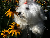 Coton de Tulear Facebook Group
