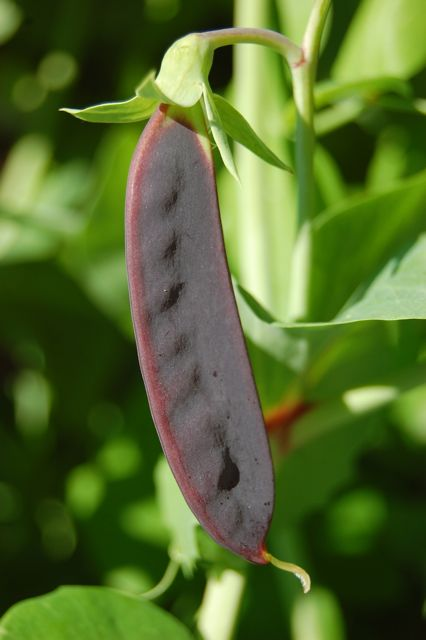 Purple Pea Flower