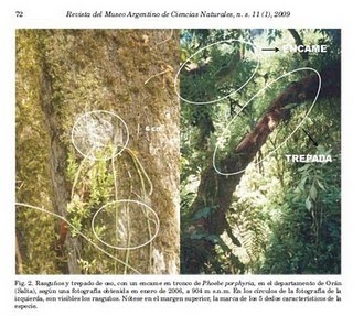 Indicios indirectos de la presencia del oso andino (Tremarctos ornatus Cuvier, 1825) en el noroeste de Argentina. Artículo con referato.