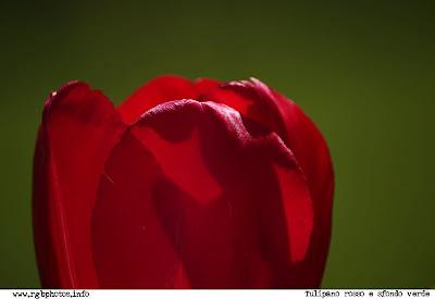 Fotografia di tulipano rosso su sfondo verde, macchina fotografica Canon EOS 10d, ottica Sigma 70-300mm f/4-5.6 APO