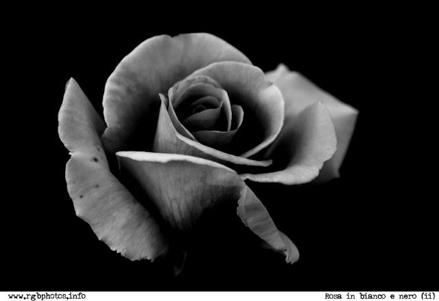 Fotografia di fiore di rosa in bianco e nero