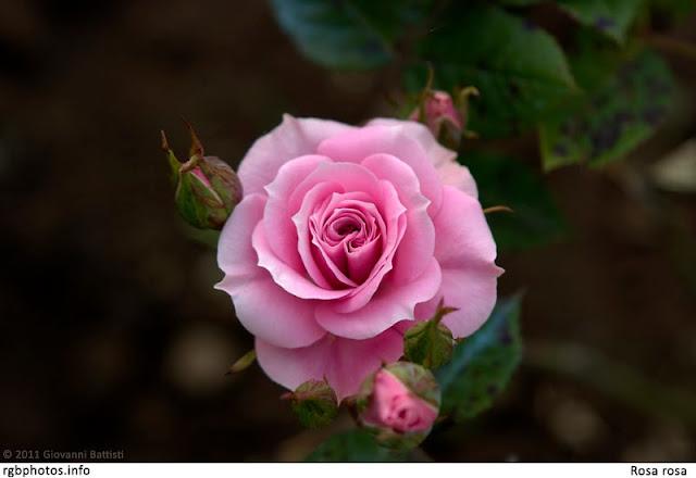 Rosa color rosa