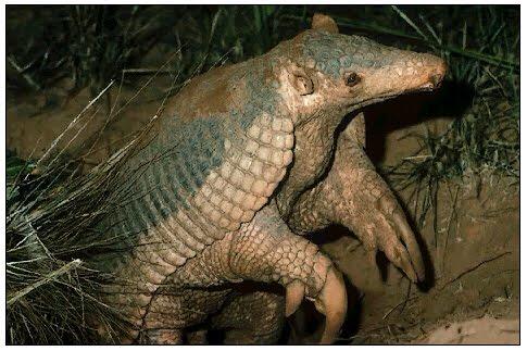 K Comen Los Armadillos El armadillo gigante |...