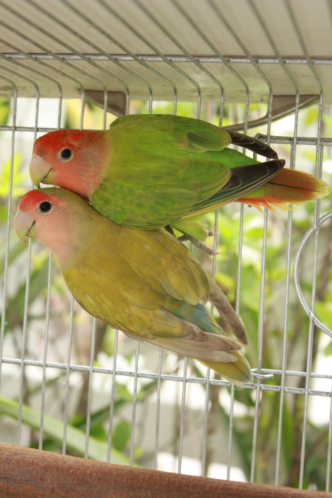 How to Breed Lovebirds How to Breed Lovebirds new picture