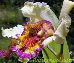 cattleya-dowiana-aurea