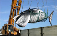 Illegal and immoral Japanese whaling