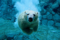 Polar bears in the wild will be extinct in thirty years