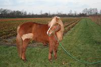 Hufrehe bei Pferden