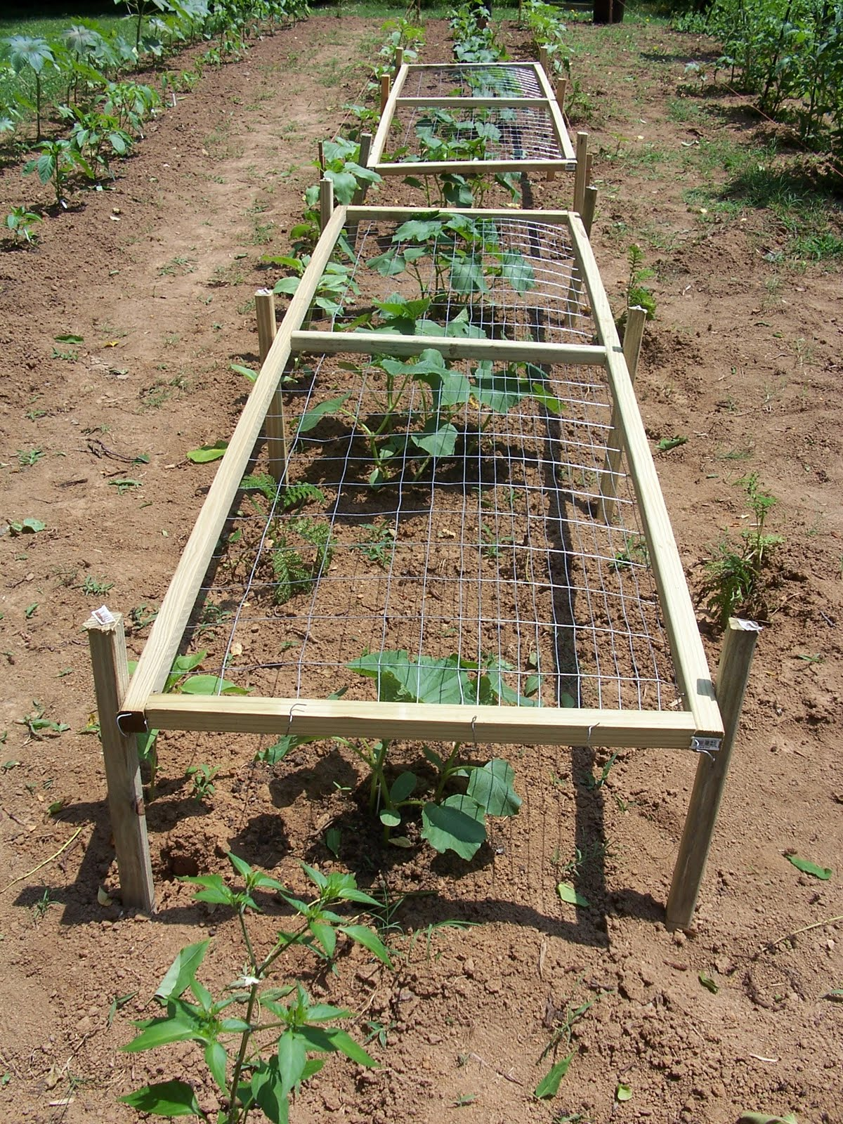 Campus Crops: Pruning and trellising more stuff: cucumbers, summer ...