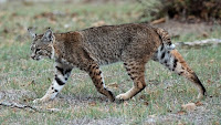 another lynx (here, a bobcat)