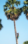 Villagers risk life and limb to tap sap from palms
