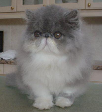 intan maniss: kucing anggora