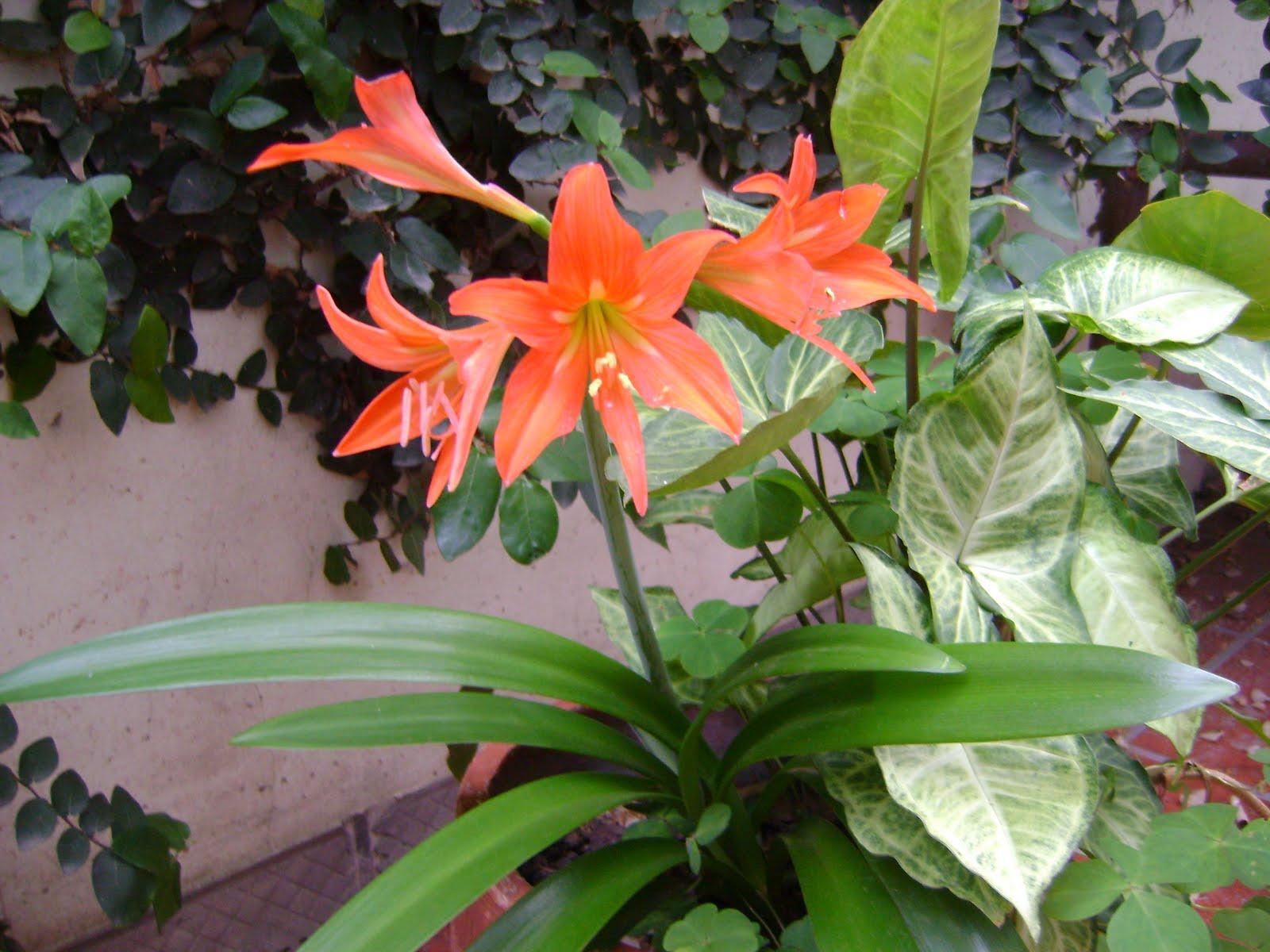 azuzenas en mi jardín
