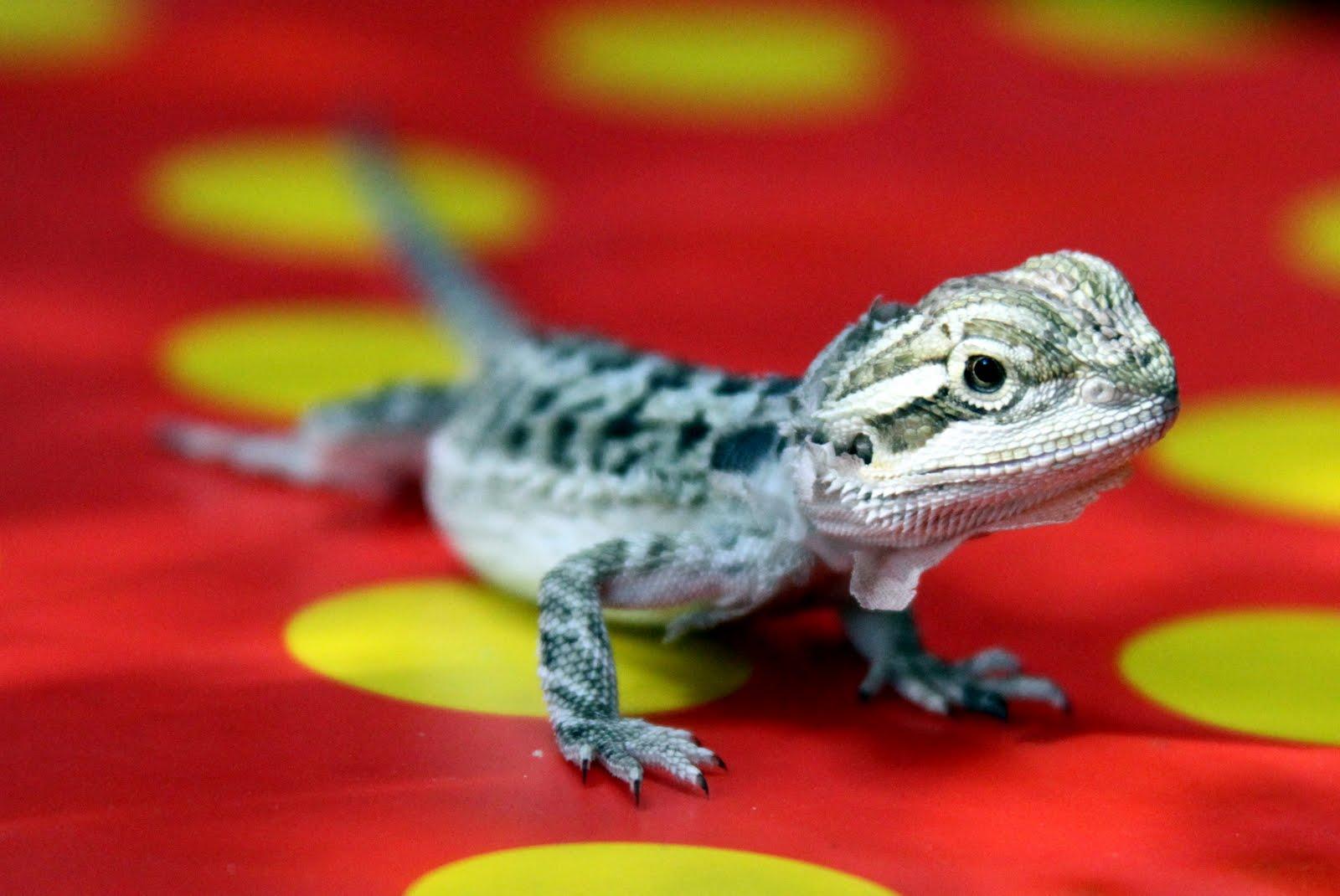bearded lizard life span - HD1600×1070