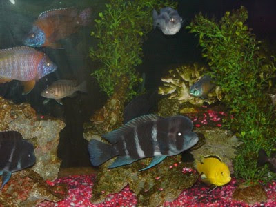 Purple+african+cichlids+fish