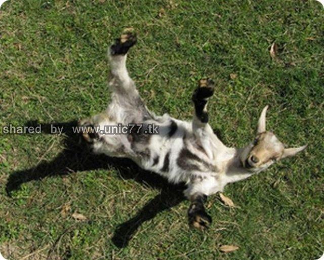 fainting_goats_640_04.jpg (640×514)
