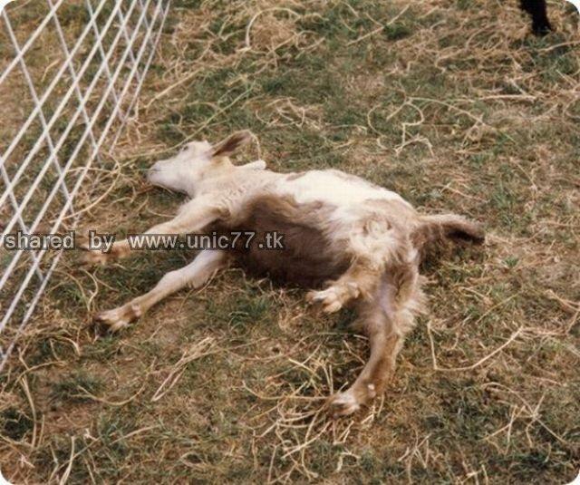 fainting_goats_640_07.jpg (640×535)