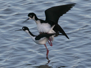 黑頸高蹺鴴 (Black-necked Stilt)