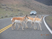 We also saw several antelope, which we hadn't seen before, . (yellowstone park part iii )