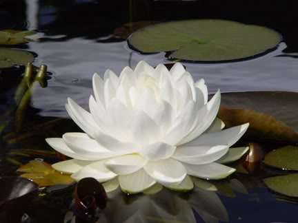 Shafa Yoga Blog Live In Peace Like A Lotus Flower