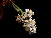 Flores del olivo