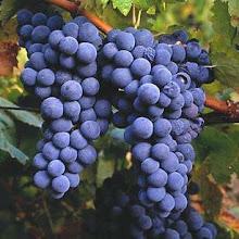 Las uvas son de una época del año pero son para todo un año