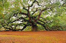 Oak. La flor del roble