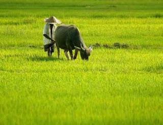 petani dan caping