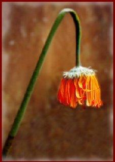 [flor+murcha0001.jpg]