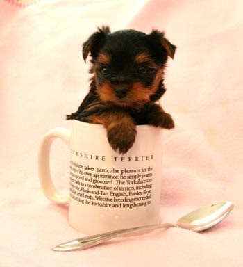 Teacup Yorkie Puppies on Teacup Yorkie Puppies Jpg Jpg