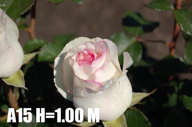 A15 H=1