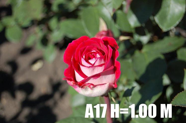 A17 H=1