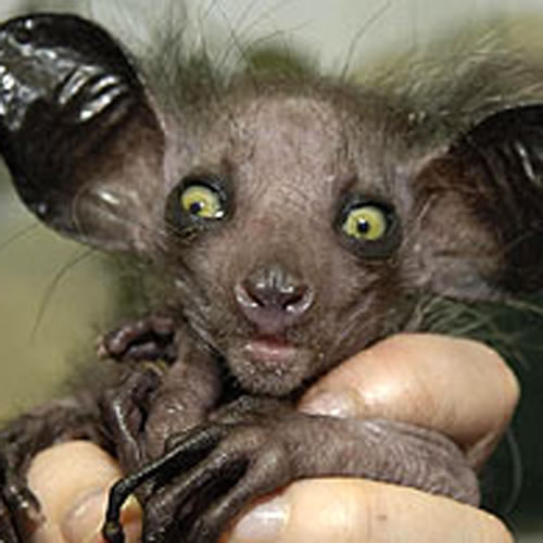 ugly animals pictures. Ugly Animals: Aye-Aye
