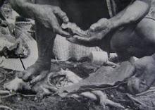 Examining A Pig's Liver