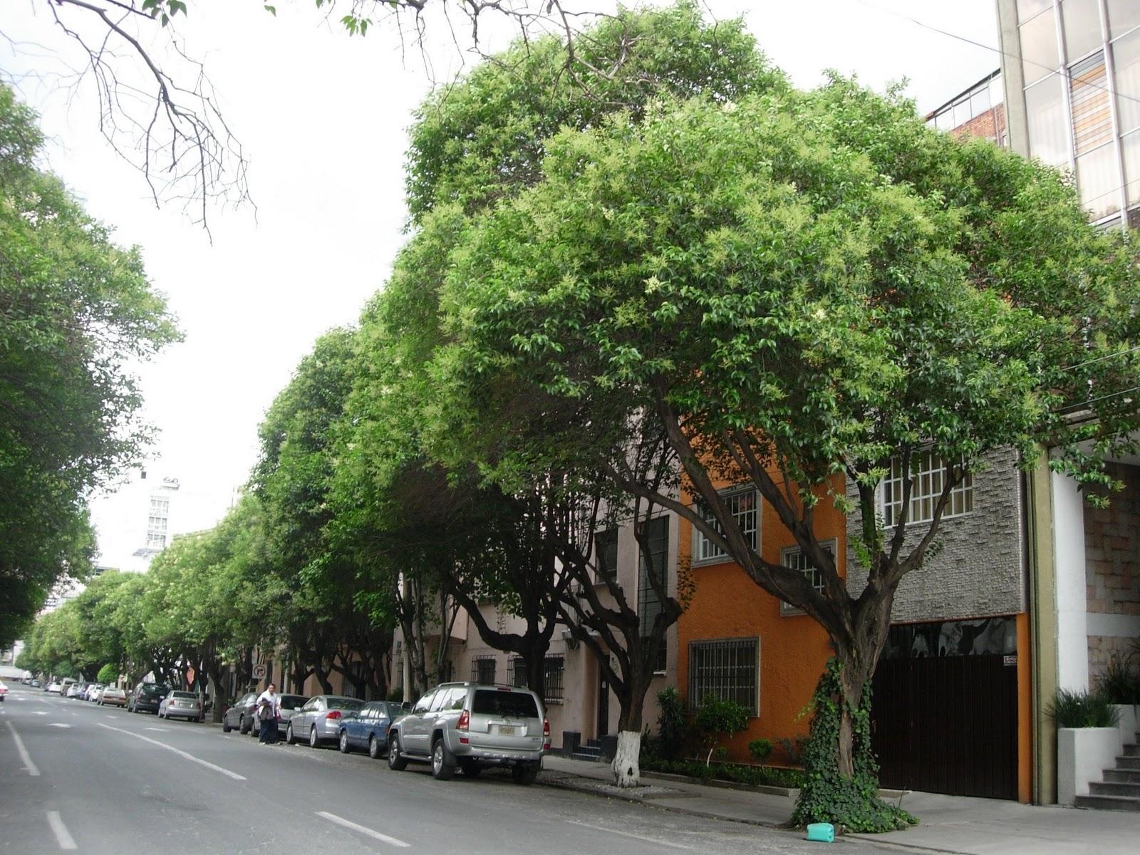 Siglo en la brisa rboles comunes de la ciudad de m xico for Arbol comun