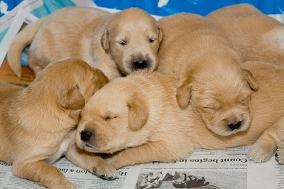 Fame's litter of puppies