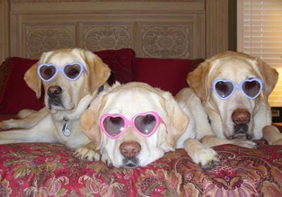 Three yellow Labs wearing heart-shaped sunglasses