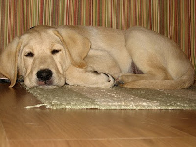 A napping Guide Dog puppy