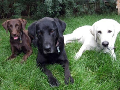 Yellow Lab Franco with friends Lady and Jedi